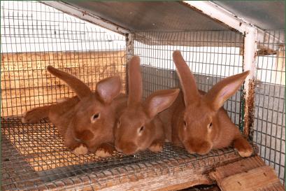 New Zealand Red rabbit New Zealand Rabbits Sleepy Creek Farm