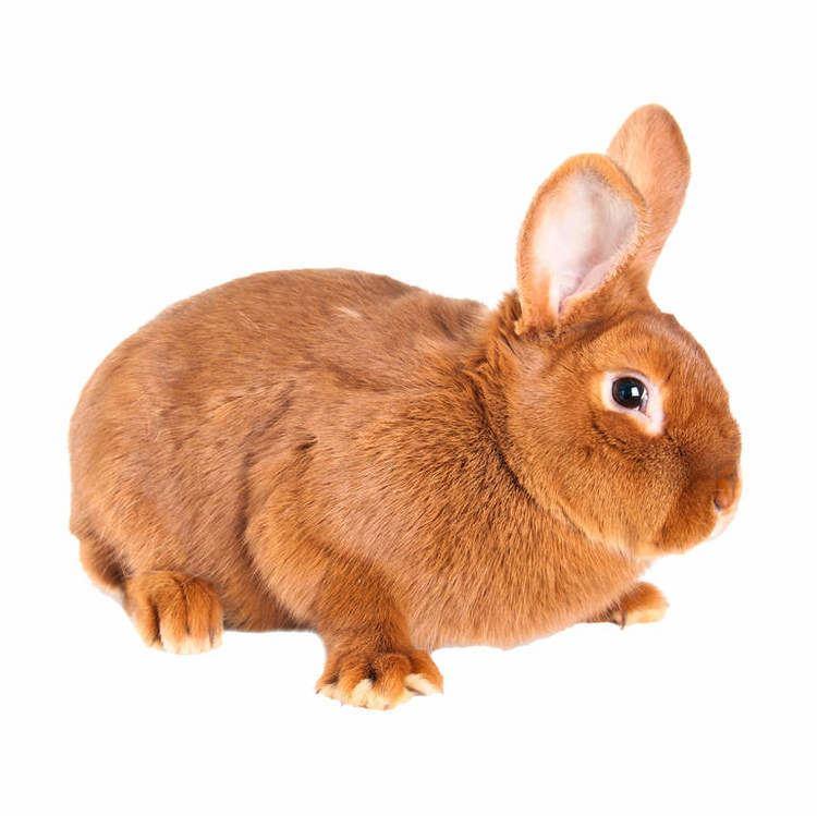 New Zealand Red rabbit httpswwwomletcoukimagescache768768Rabbi