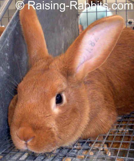 New Zealand Red rabbit New Zealand Red Rabbits Info History Description