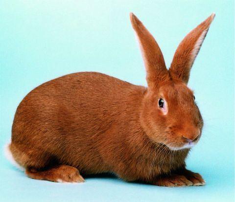 New Zealand Red rabbit BRC New Zealand Red rabbit