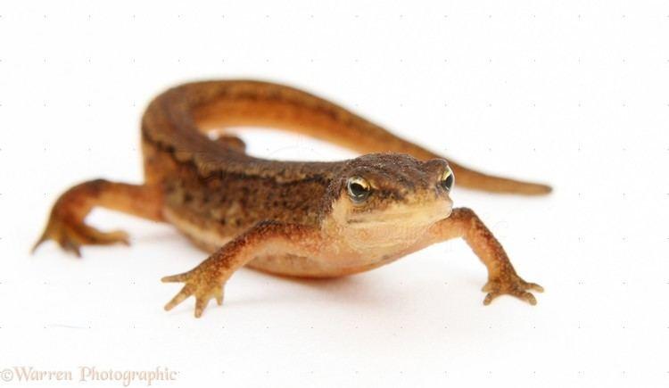 Newt Newt skin photo WP02656