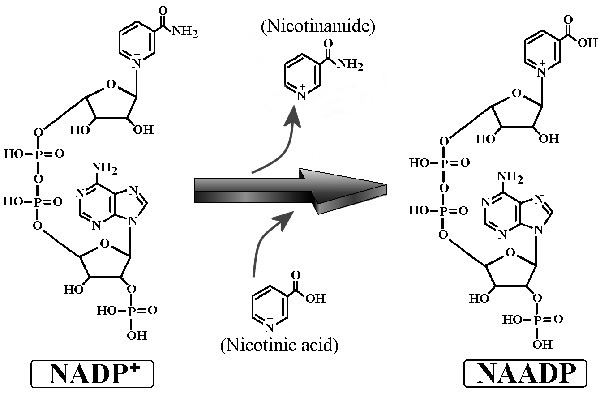 Nadp Structure