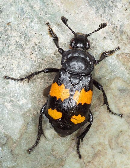 Nicrophorus vespilloides Sexton Beetle Nicrophorus vespilloides BugGuideNet