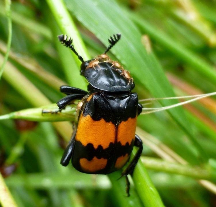 Nicrophorus vespilloides Common Sexton Beetle Nicrophorus vespilloides NatureSpot