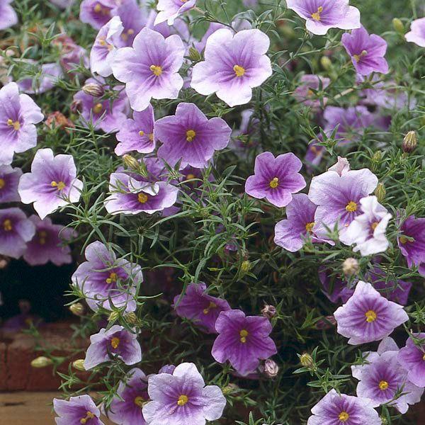 нирембергия фото цветы финансы
