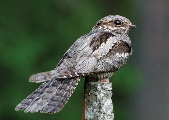 Nightjar nightjar bird Britannicacom