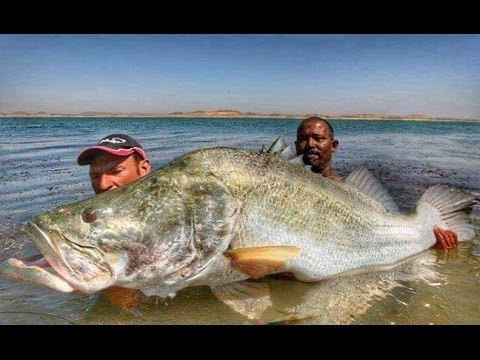 Nile perch 114 LBS MONSTER NILE PERCH IN SPINNING HD by CATFISHING WORLD
