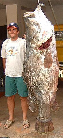 Nile perch httpsuploadwikimediaorgwikipediacommonsthu