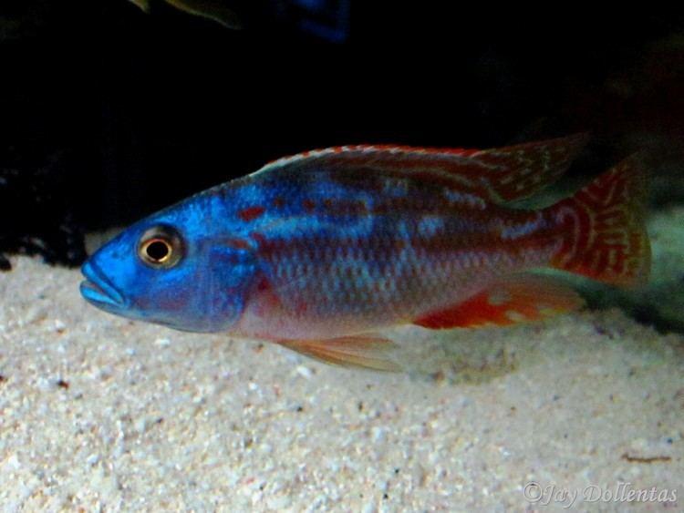 Nimbochromis cichlidscom Nimbochromis Fuscotaeniatus