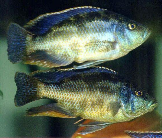 Nimbochromis NIMBOCHROMIS POLYSTIGMA