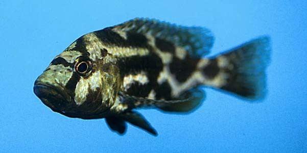 Nimbochromis Nimbochromis livingstonii Seriously Fish