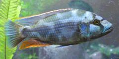 Nimbochromis Nimbochromis Wikipedia