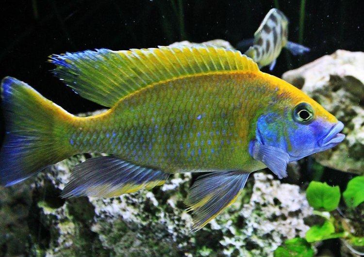 Nimbochromis Nimbochromis Venustus African cichlids YouTube