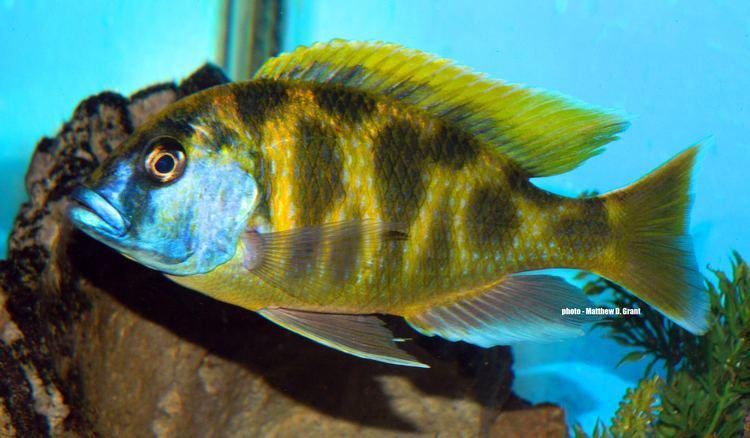Nimbochromis cichlidscom Nimbochromis venustus