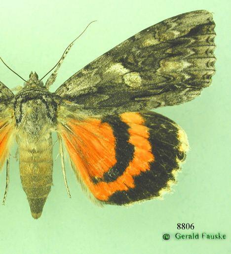 Noctuidae Family Noctuidae