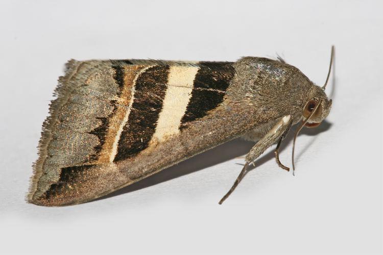 Noctuidae httpsuploadwikimediaorgwikipediacommons11