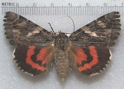 Noctuidae Moths of Southeastern Arizona The Noctuidae
