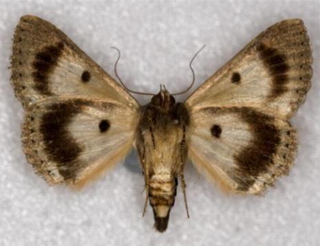 Noctuidae Australian NOCTUIDAE