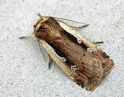 Noctuidae List of moths of Great Britain Noctuidae Wikipedia