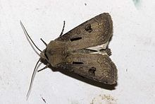 Noctuinae Noctuinae Wikipedia