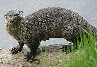 North American river otter North American River Otter