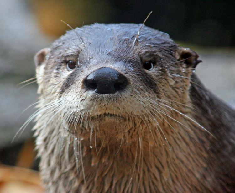 North American river otter North American River Otter The Cincinnati Zoo amp Botanical Garden