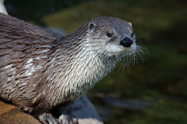 North American river otter North American River Otter Peering Otter Facts and Information