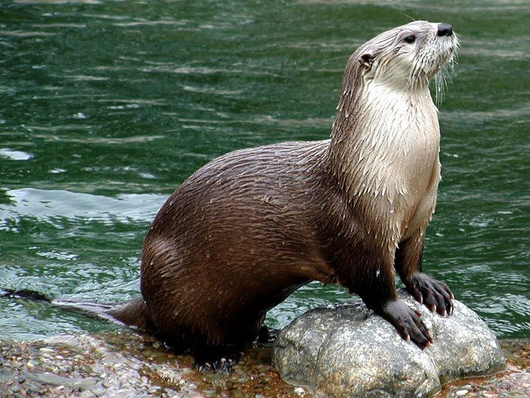North American river otter The North American River Otter Montana Hunting and Fishing Information