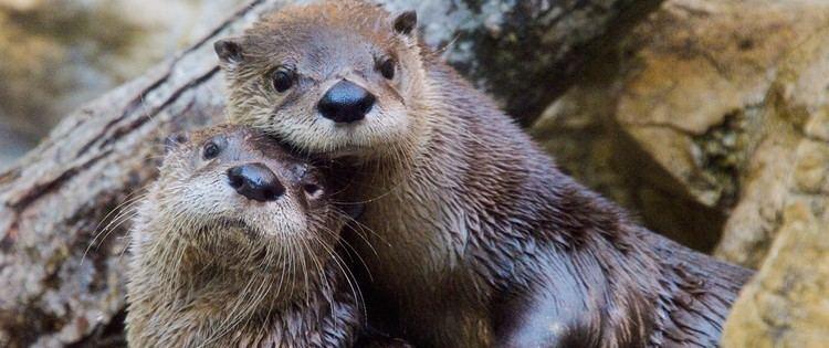 North American river otter Fort Wayne Children39s Zoo North American River Otter