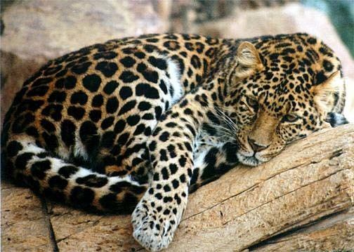 North-Chinese leopard The North China Leopard Highly Endangered Beautiful Big Spotted