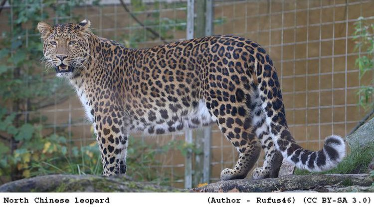 North-Chinese leopard tigertribenetwpcontentuploads201204NorthCh