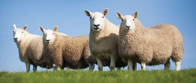 North Country Cheviot North Country Cheviot Sheep Society Why North Country Cheviot