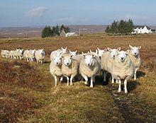 North Country Cheviot httpsuploadwikimediaorgwikipediacommonsthu