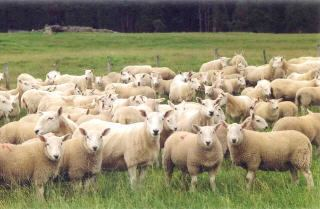 North Country Cheviot Sheep 101 Sheep Breeds MN