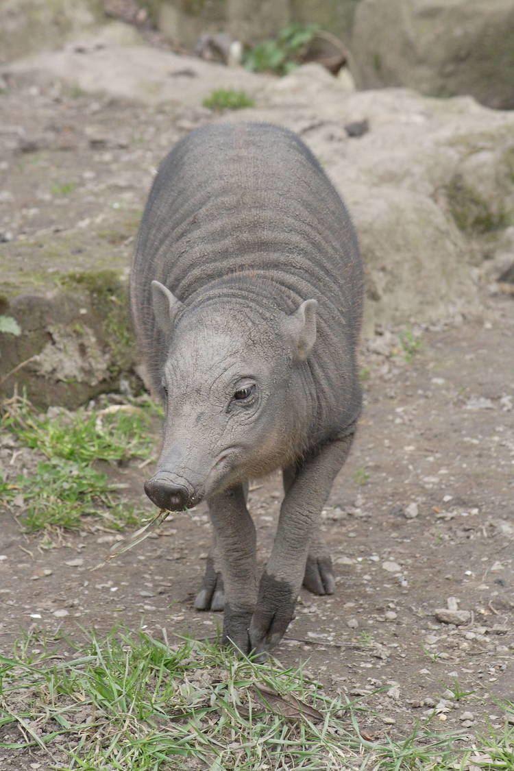 North Sulawesi babirusa North Sulawesi babirusa piglet ZooChat