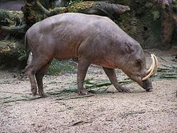 North Sulawesi babirusa httpsd1k5w7mbrh6vq5cloudfrontnetimagescache