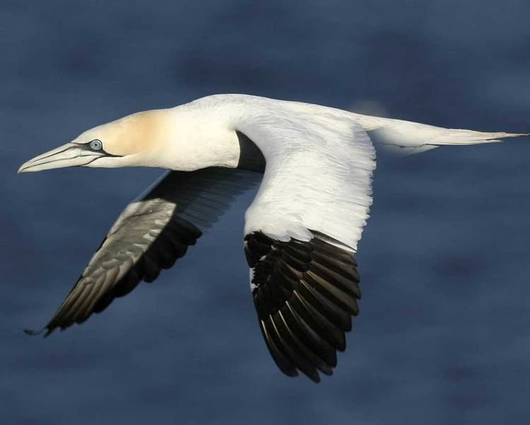 Northern gannet d2fbmjy3x0sduacloudfrontnetsitesdefaultfiles