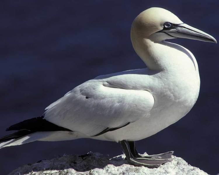 Northern gannet Northern Gannet Audubon Field Guide