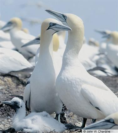 Northern gannet Northern Gannet Identification All About Birds Cornell Lab of