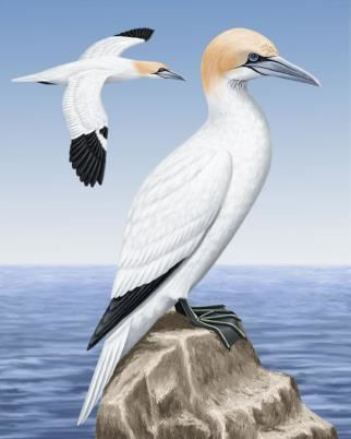 Northern gannet Northern Gannet Whatbirdcom