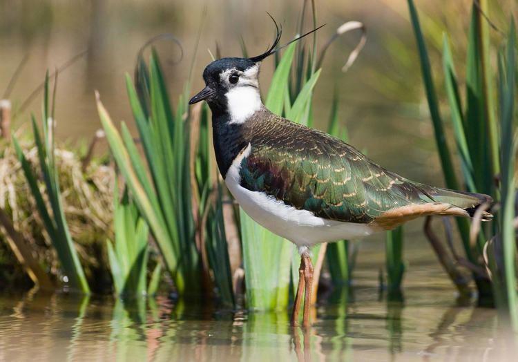 Northern lapwing Northern Lapwing Audubon Field Guide