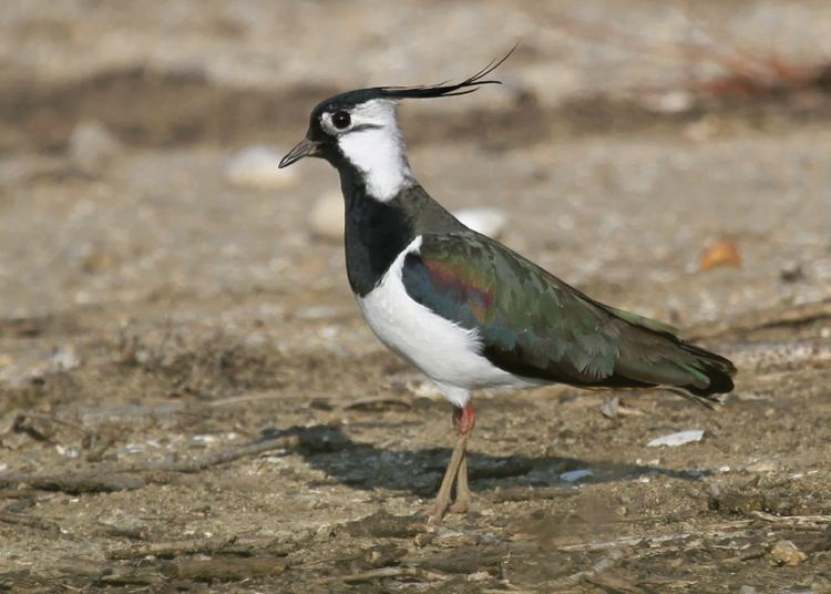Northern lapwing Impurest39s guide to Animals 4 Northern Lapwing OffTopic