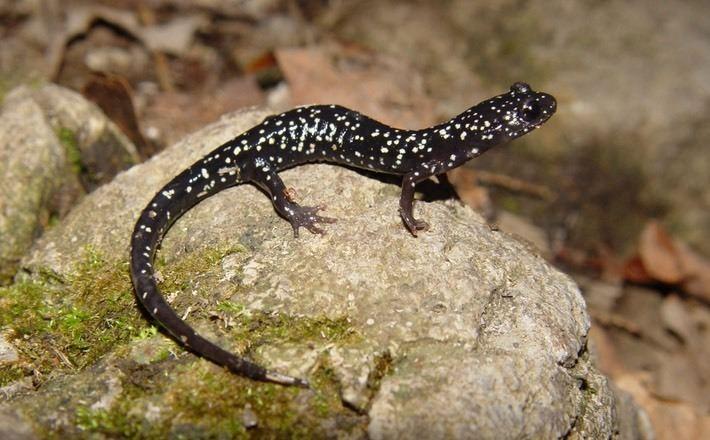 Northern slimy salamander Northern Slimy Salamander Virgin Falls White County Amphibians