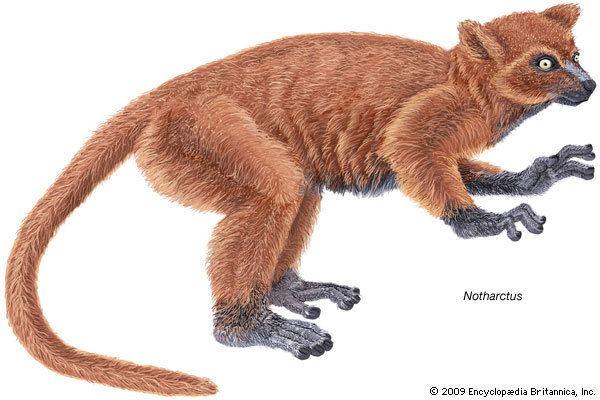 Notharctus Notharctus fossil primate genus Britannicacom