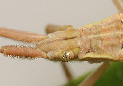 Notostira elongata httpswwwbritishbugsorgukheteropteraMiridae