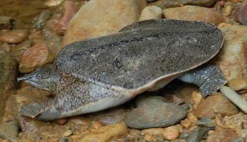 Nubian flapshell turtle httpssmediacacheak0pinimgcom736x91e0b5