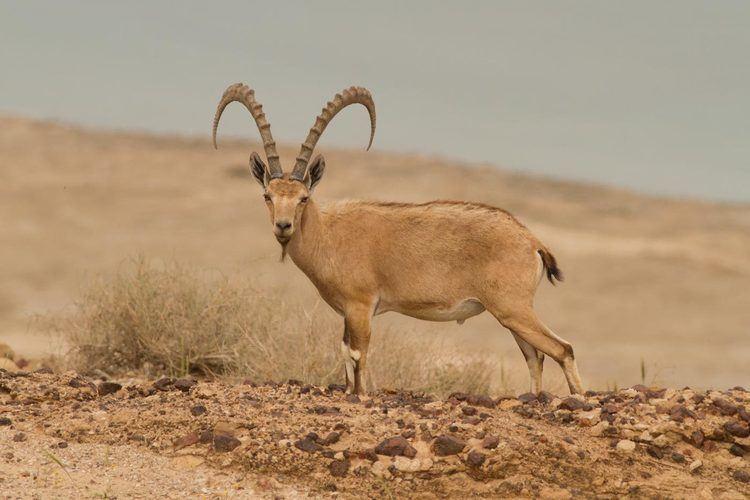 Nubian ibex Josh39s Blog Nubian Ibex