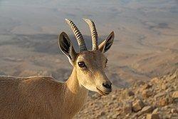 Nubian ibex Nubian ibex Wikipedia