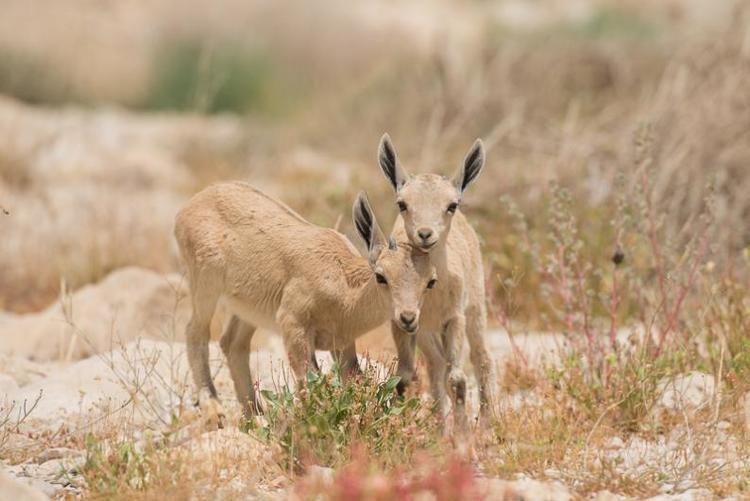 Nubian ibex Nubian ibex in Israel Discover Wildlife