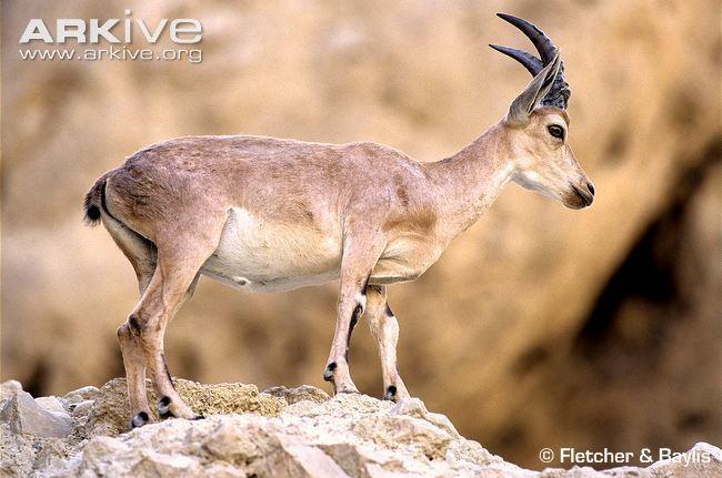 Nubian ibex cdn1arkiveorgmedia2F2FF2827E299448F99E425